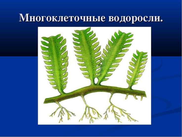 Многоклеточные водоросли.
