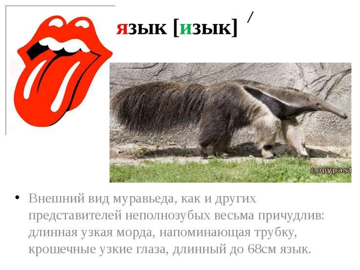 язык [изык] Внешний вид муравьеда, как и других представителей неполнозубых в...