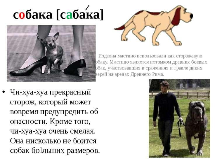 собака [сабака] Чи-хуа-хуа прекрасный сторож, который может вовремя предупред...
