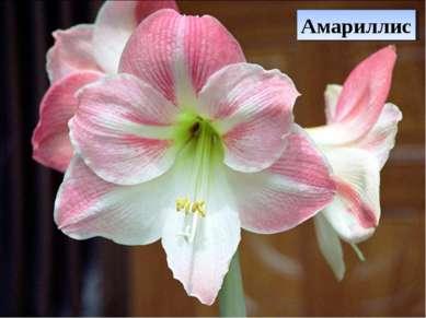Амариллис