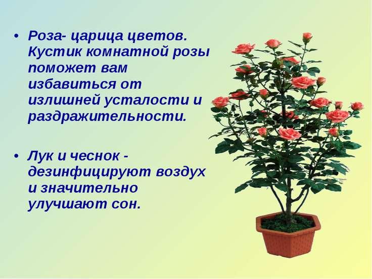 Роза- царица цветов. Кустик комнатной розы поможет вам избавиться от излишней...