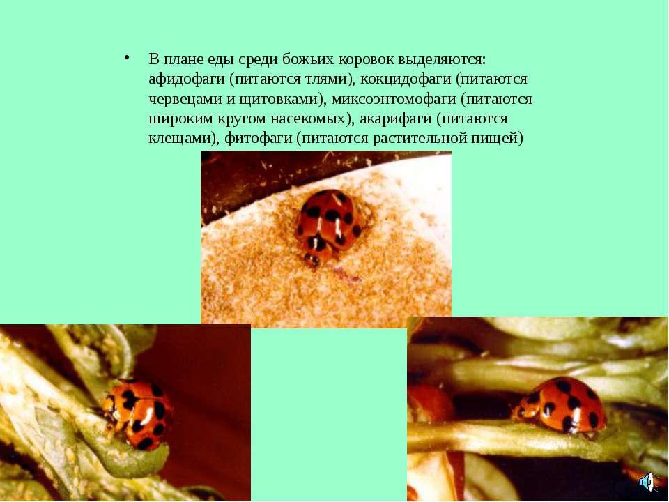 В плане еды среди божьих коровок выделяются: афидофаги (питаются тлями), кокц...