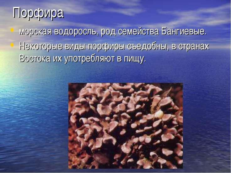 Порфира морская водоросль, род семейства Бангиевые. Некоторые виды порфиры съ...