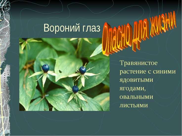 Вороний глаз Травянистое растение с синими ядовитыми ягодами, овальными листьями