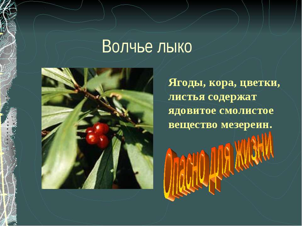 Волчье лыко Ягоды, кора, цветки, листья содержат ядовитое смолистое вещество ...