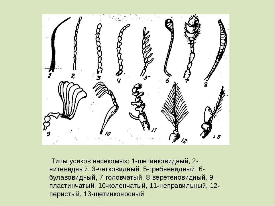 Типы усиков насекомых: 1-щетинковидный, 2-нитевидный, 3-четковидный, 5-гребне...