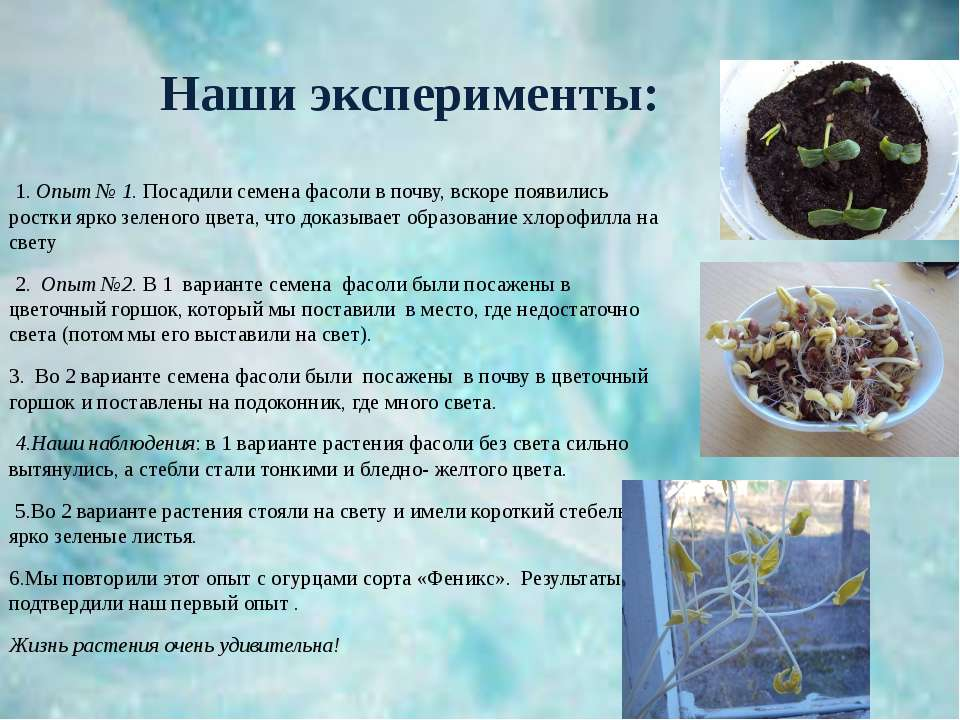 Наши эксперименты: 1. Опыт № 1. Посадили семена фасоли в почву, вскоре появил...