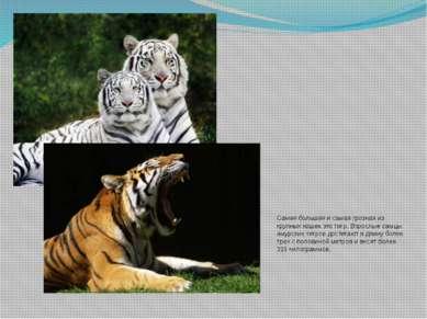 Самая большая и самая грозная из крупных кошек это тигр. Взрослые самцы амурс...