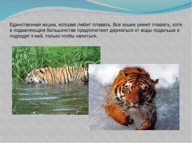 Единственная кошка, которая любит плавать. Все кошки умеют плавать, хотя в по...