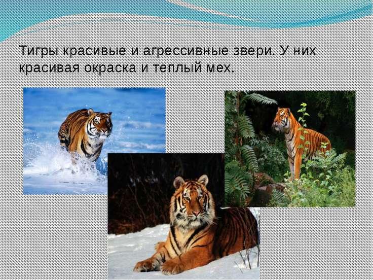 Тигры красивые и агрессивные звери. У них красивая окраска и теплый мех. .