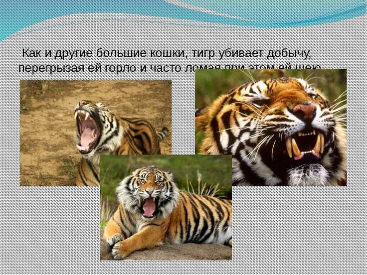 Как и другие большие кошки, тигр убивает добычу, перегрызая ей горло и часто ...