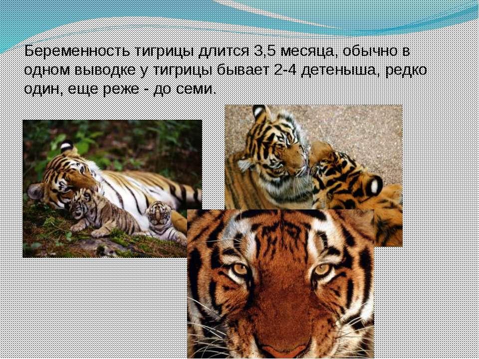 Беременность тигрицы длится 3,5 месяца, обычно в одном выводке у тигрицы быва...