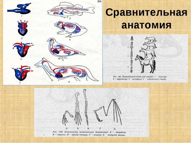 Сравнительная анатомия