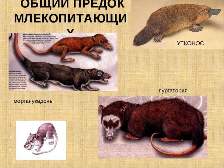 ОБЩИЙ ПРЕДОК МЛЕКОПИТАЮЩИХ пургатория морганукадоны УТКОНОС