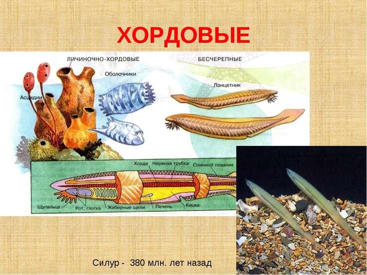 ХОРДОВЫЕ Силур - 380 млн. лет назад