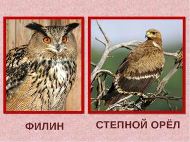 ФИЛИН СТЕПНОЙ ОРЁЛ