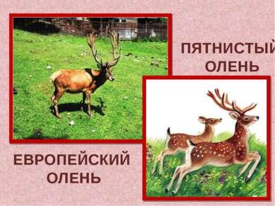 ЕВРОПЕЙСКИЙ ОЛЕНЬ ПЯТНИСТЫЙ ОЛЕНЬ