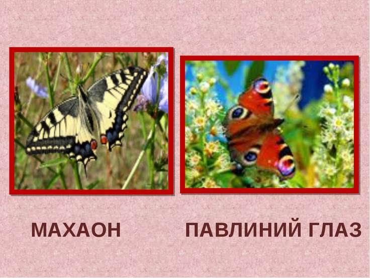 МАХАОН ПАВЛИНИЙ ГЛАЗ