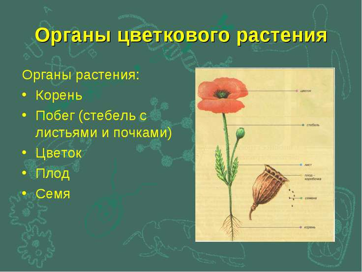 Органы цветкового растения Органы растения: Корень Побег (стебель с листьями ...