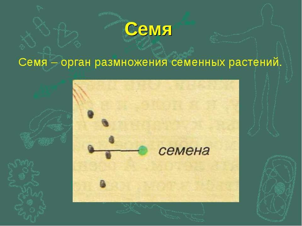 Семя Семя – орган размножения семенных растений.