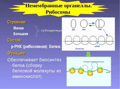 Строение: Малая Большая Состав: р-РНК (рибосомная) Белки. Функции: Обеспечива...