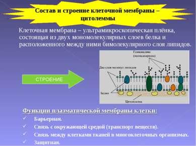 Клеточная мембрана – ультрамикроскопическая плёнка, состоящая из двух мономол...