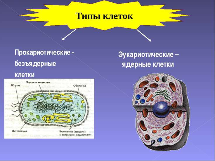 Прокариотические - безъядерные клетки Эукариотические –ядерные клетки Типы кл...
