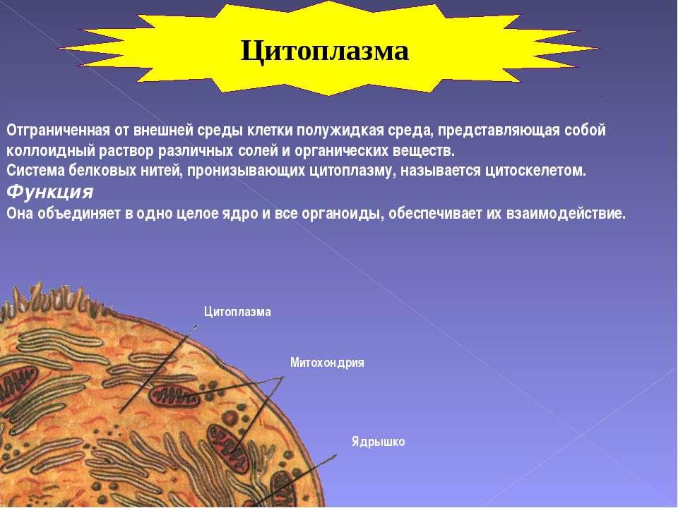 Цитоплазма Митохондрия Ядрышко Отграниченная от внешней среды клетки полужидк...