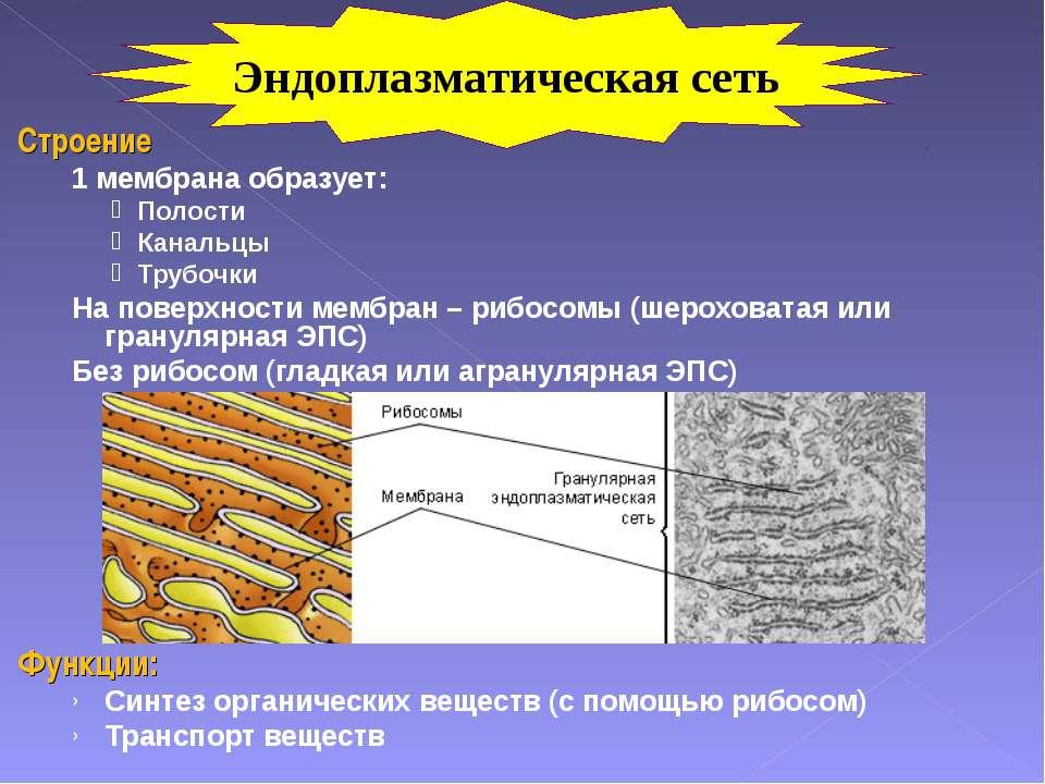 Строение 1 мембрана образует: Полости Канальцы Трубочки На поверхности мембра...