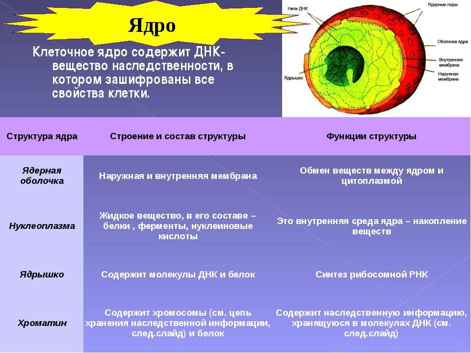 Клеточное ядро содержит ДНК- вещество наследственности, в котором зашифрованы...