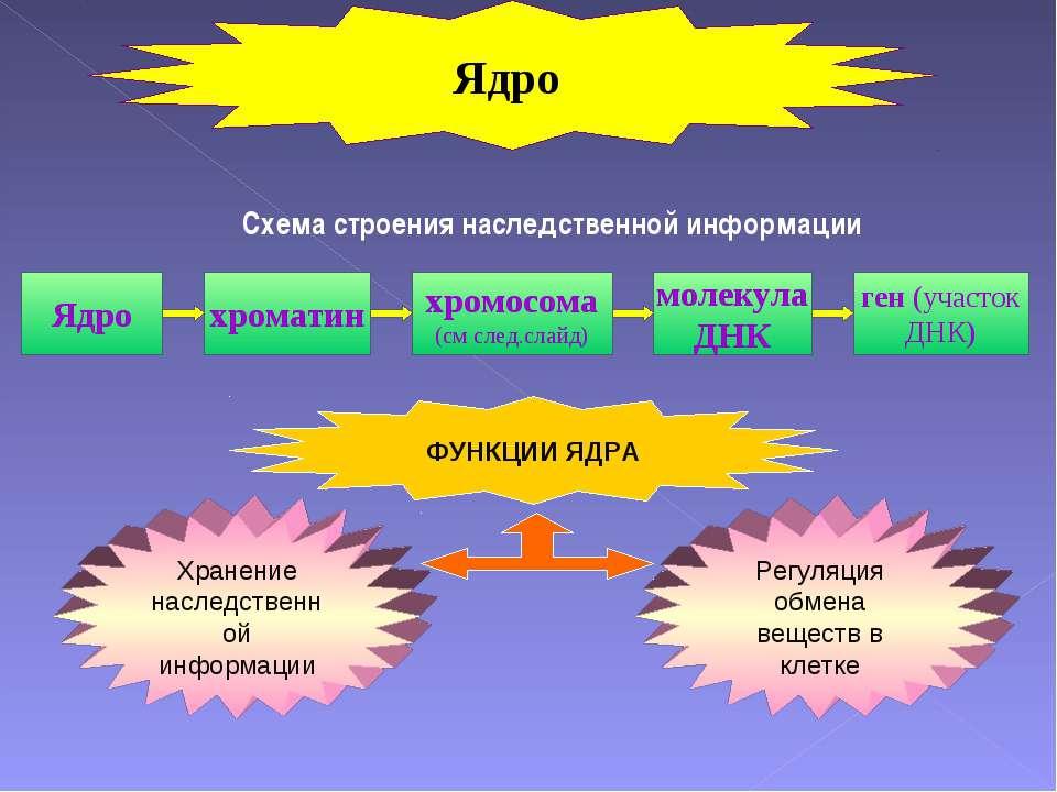 Схема строения наследственной информации Ядро хроматин хромосома (см след.сла...