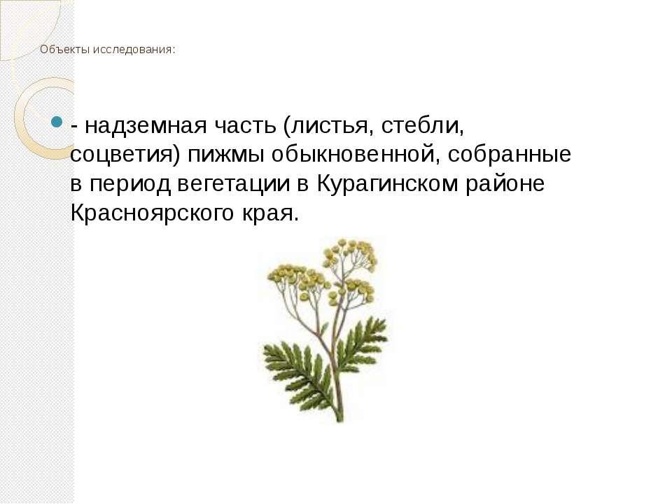 Объекты исследования: - надземная часть (листья, стебли, соцветия) пижмы обык...