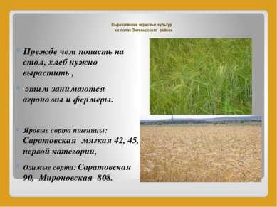 Выращивание зерновых культур на полях Энгельсского района Прежде чем попасть ...