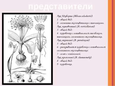 Лук Шуберта (Allium schubertii): 1- общий вид; 2- сегменты околоцветника с...
