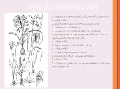 Гесперокаллис волнистый (Hesperocallis undulata): 1- общий вид. Бродиея ярко...