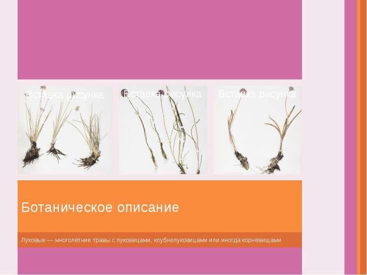 Луковые— многолетние травы слуковицами, клубнелуковицами или иногда корневи...