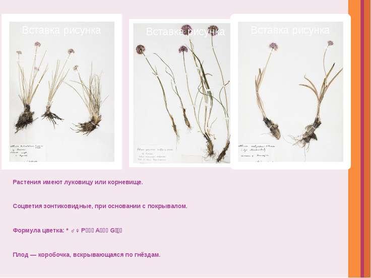 Растения имеютлуковицу иликорневище. Соцветиязонтиковидные, при основании ...
