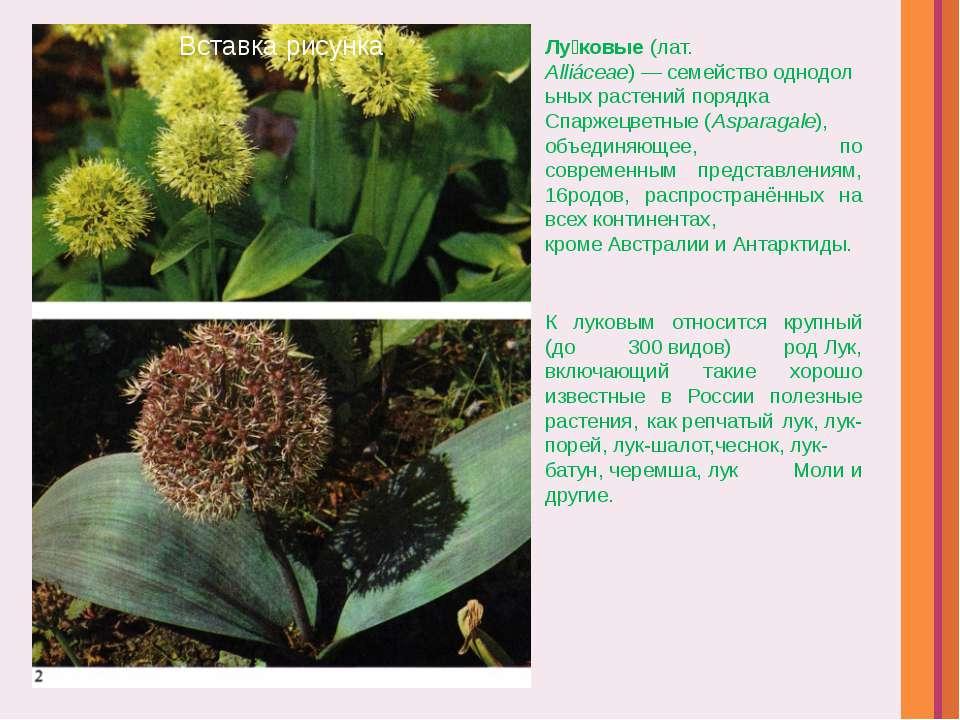 Лу ковые(лат. Alliáceae)—семействооднодольныхрастенийпорядка Спаржецвет...