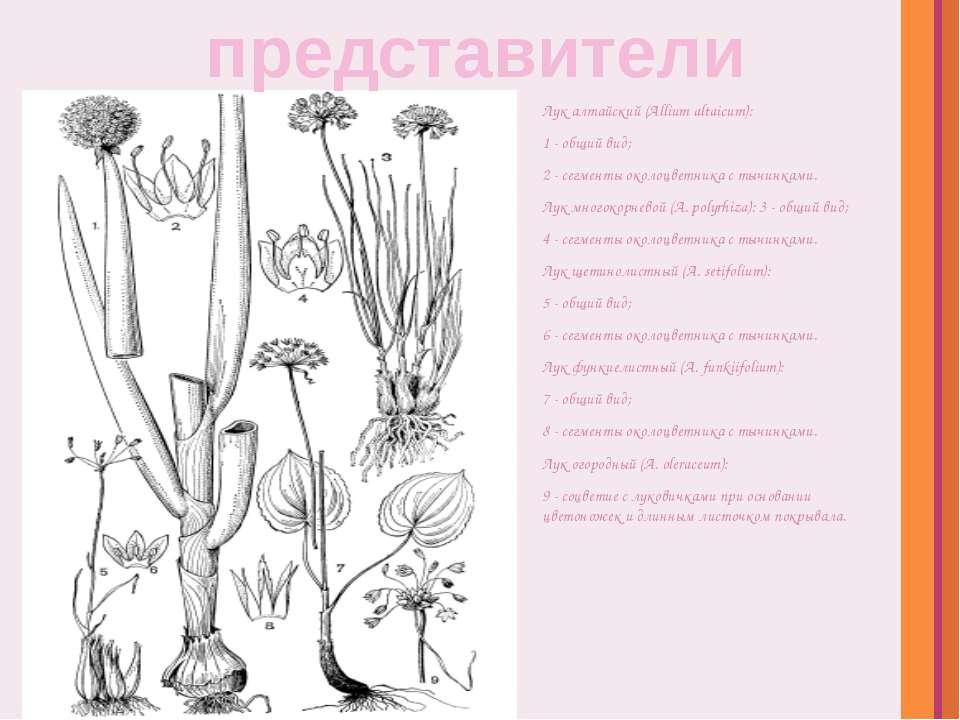 Лук алтайский (Allium altaicum): 1- общий вид; 2- сегменты околоцветника с...