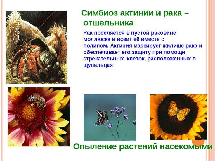 Симбиоз актинии и рака – отшельника Рак поселяется в пустой раковине моллюска...