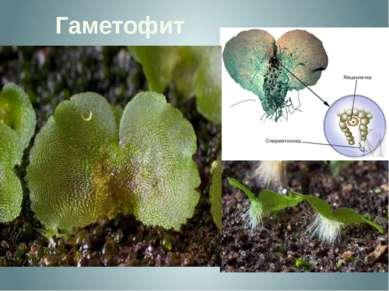 Гаметофит Гаметофит, называемый заростком - тонкая зеленая пластинка диаметро...