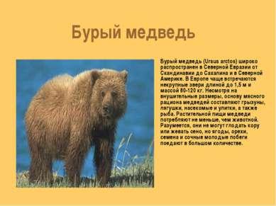 Бурый медведь Бурый медведь (Ursus arctos) широко распространен в Северной Ев...