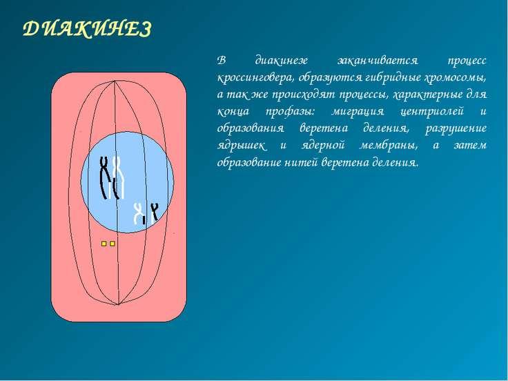 ДИАКИНЕЗ В диакинезе заканчивается процесс кроссинговера, образуются гибридны...