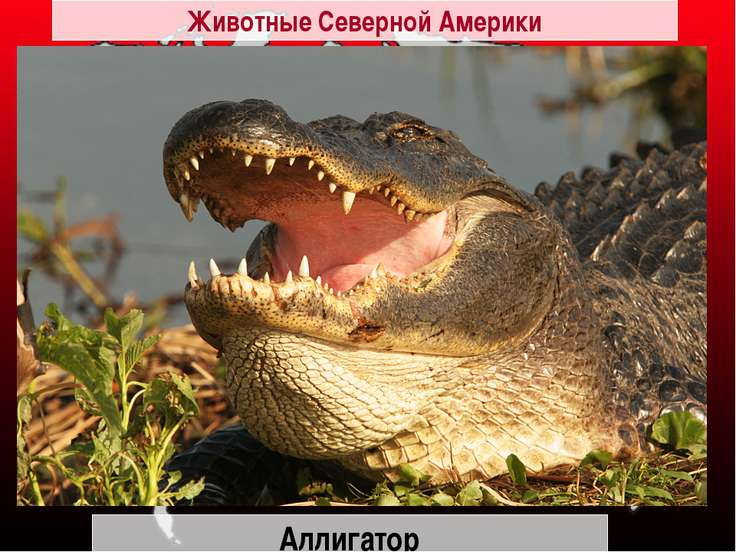 Аллигатор Животные Северной Америки
