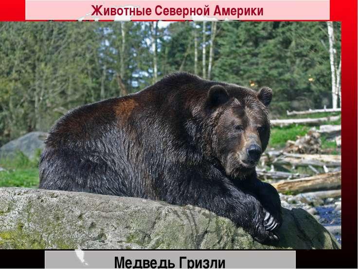 Медведь Гризли Животные Северной Америки