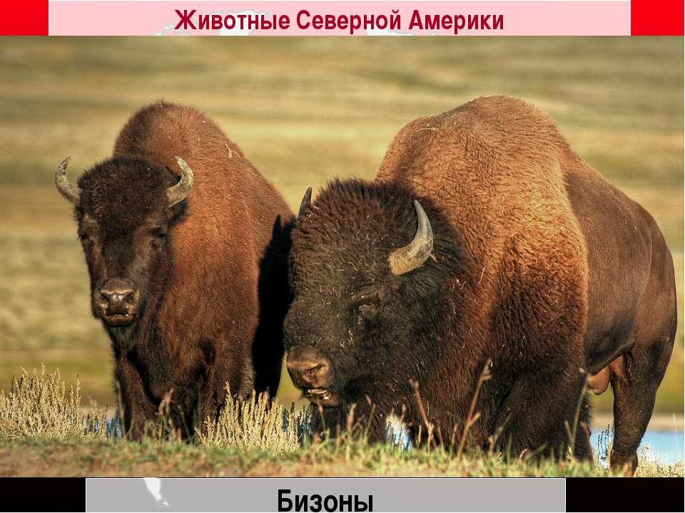 Бизоны Животные Северной Америки