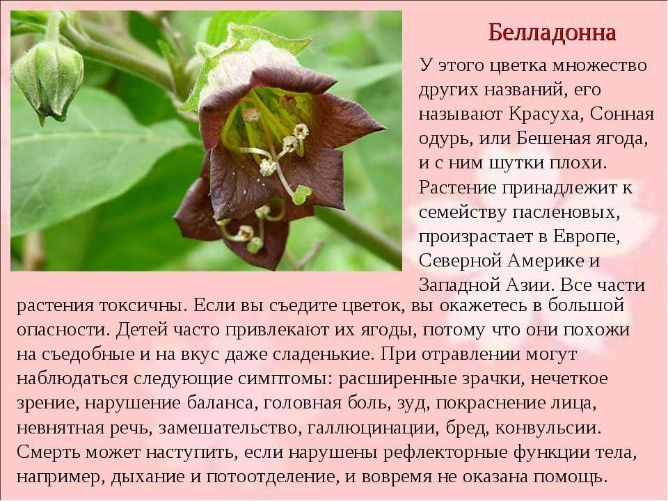 Белладонна У этого цветка множество других названий, его называют Красуха, Со...