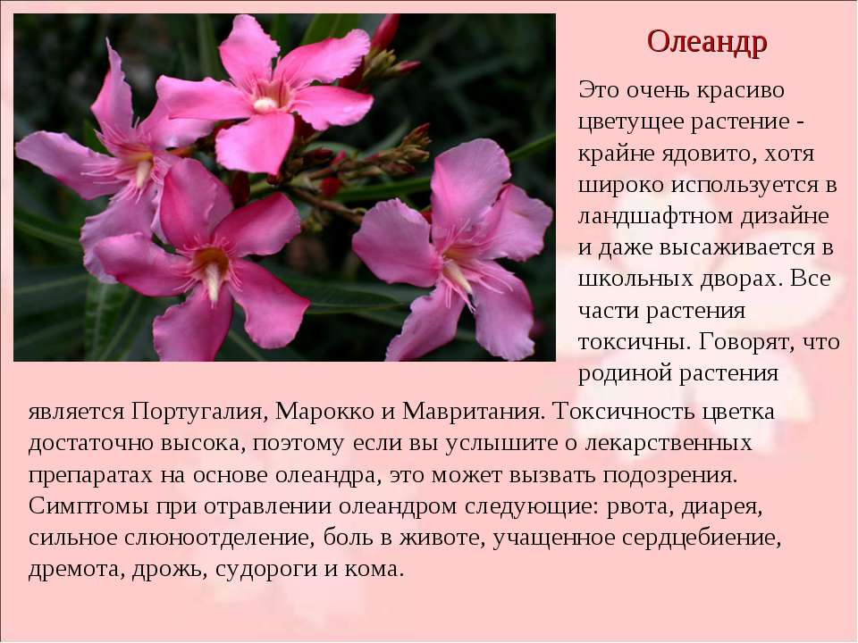 Олеандр Это очень красиво цветущее растение - крайне ядовито, хотя широко исп...