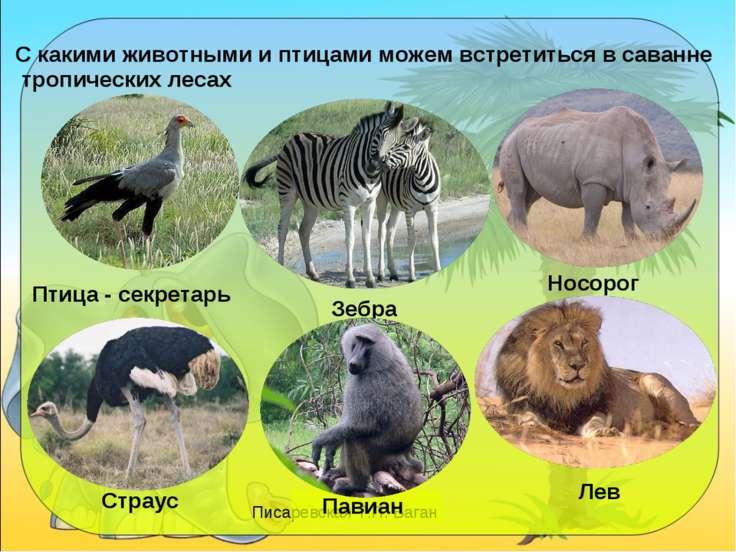 С какими животными и птицами можем встретиться в саванне тропических лесах Пт...