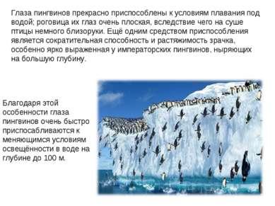 Глаза пингвинов прекрасно приспособлены к условиям плавания под водой; рогови...